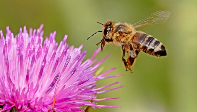 danza-delle-api